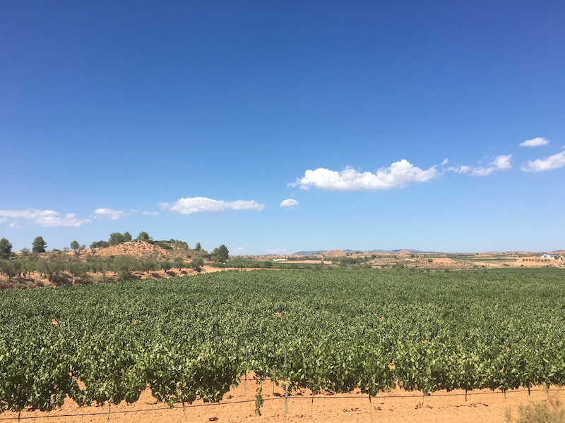 Vines in the Spanish wine region of Utiel-Requena DO