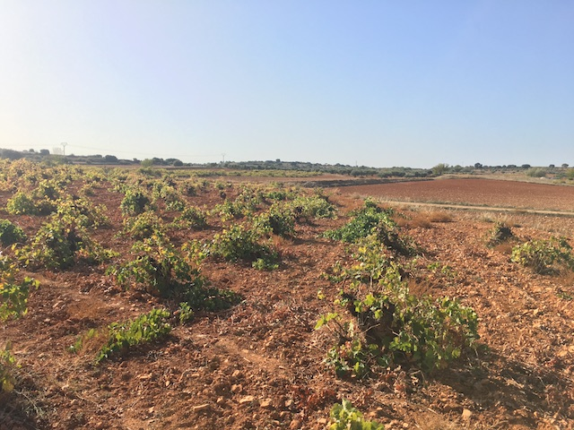 Pre-Phylloxera Airén vines belonging to Andrés Morate winery